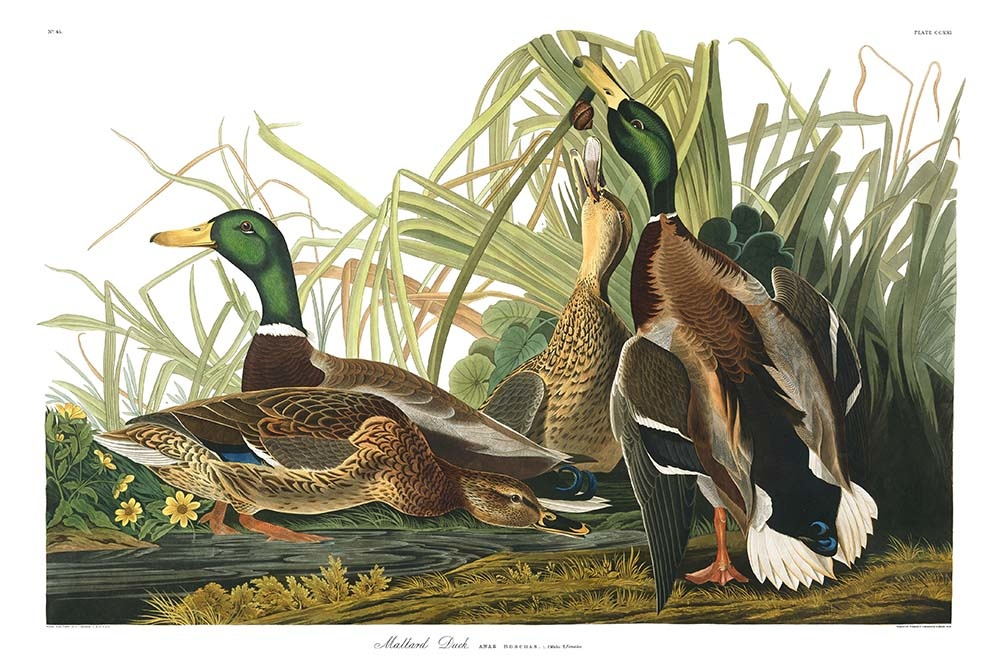 Cottage Living with Audubon's Birds of America