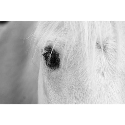 Framed Print on Rag Paper: White Horse by C. Cremer