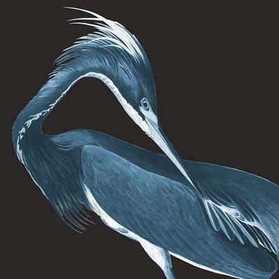 Framed Print on Rag Paper: Louisiana Heron (Black Background) by John James Audubon