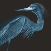 Framed Print on Rag Paper: Blue Crane (Black Background) by John James Audubon