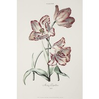 Framed Print on Rag Paper: White and Red Tulips Keizer Leopoldus