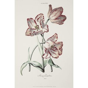 Framed Print on Rag Paper White and Red Tulips Keizer Leopoldus