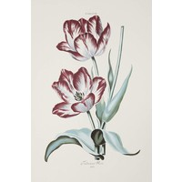 Framed Print on Rag Paper: White and Red Tulips Gesneriana Fredericus Rex