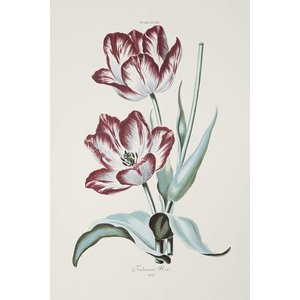 Framed Print on Rag Paper White and Red Tulips Gesneriana Fredericus Rex