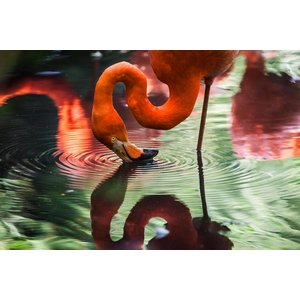 Facemount Acrylic - Flamingo Drinking 1/4 Inch Thick Acrylic Glass