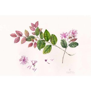 Print on Paper US250 - Chinese Witch Hazel by Stephanie Law