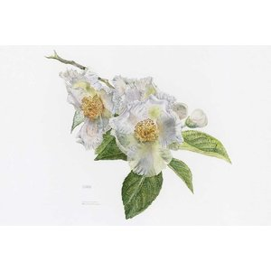 The Picturalist Framed Print on Rag Paper: Japanese Stewartia