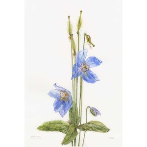 Framed Print on Rag Paper Himalayan Blue Poppy