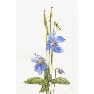 The Picturalist Framed Print on Rag Paper: Himalayan Blue Poppy by Stephanie Law