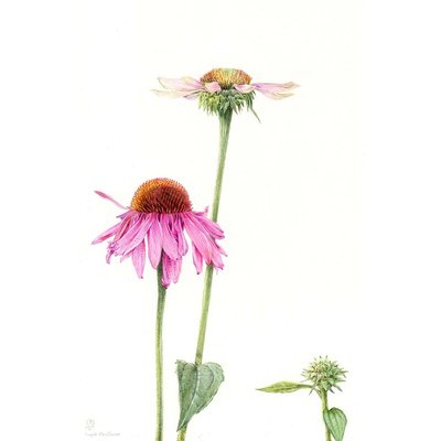 The Picturalist Framed Print on Rag Paper: Echinacea by Stephanie Law