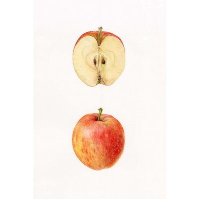 The Picturalist Framed Print on Rag Paper: Apple by Stephanie Law