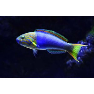 Print on Paper US250 - Lennardi Wrasse Tropical Fish