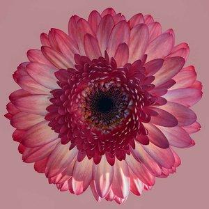 Facemount Acrylic - Pink Gerbera