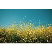 The Picturalist Framed Print on Rag Paper: Yellow Fields