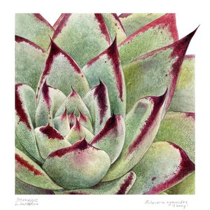 The Picturalist Framed Print on Rag Paper: Echeveria Agavoides