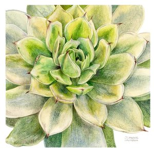 Framed Print on Rag Paper Echeveria Agavoides Green