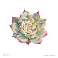 The Picturalist Framed Print on Rag Paper: Echeveria Chihahensis