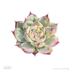 Print on Paper US250 - Echeveria Chihahensis by Stephanie Law