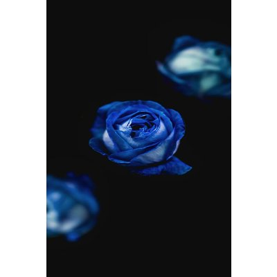 The Picturalist Framed Facemount Metal: A Rose is a Rose UV Printed on Metal by A. Acea