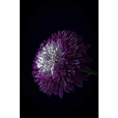 The Picturalist Facemount Acrylic: Purple Dahlia 1/4 Inch Thick Acrylic Glass by C. Quintero