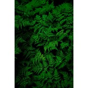 Facemount Acrylic: Fern by G. Geller 1/4 Inch Thick Acrylic Glass