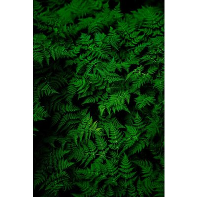 The Picturalist Framed Facemount Metal: Fern by T. Paanan UV Printed on Metal