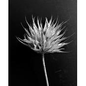 Framed Print on Rag Paper: Fleur de Coton