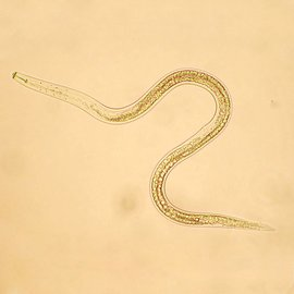 Orcon Orcon Beneficial Nematode Pre-Paid Certificate, 7 Million