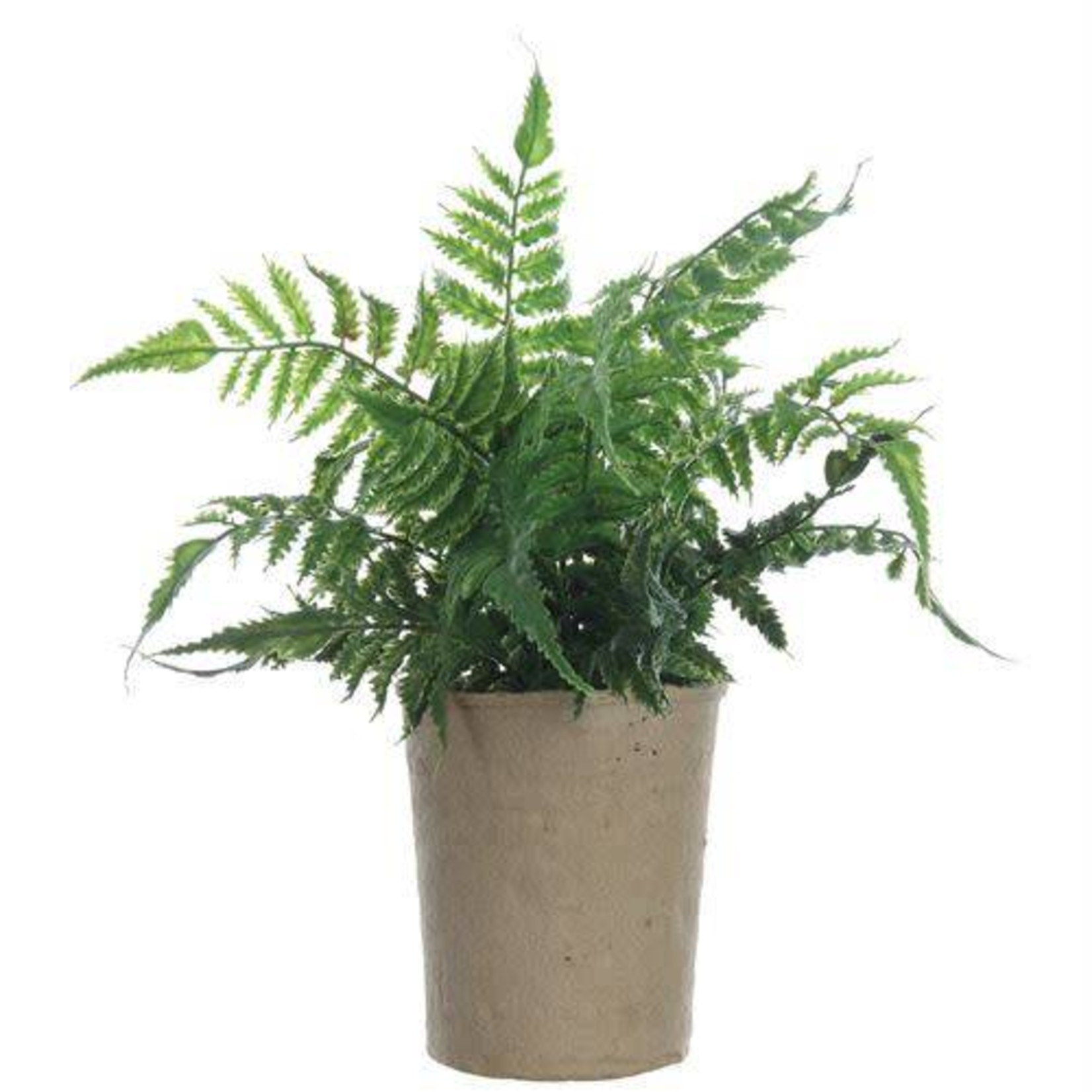 Fern Plant in Paper Pot