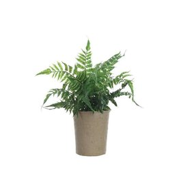 Fern Plant in Paper Pot