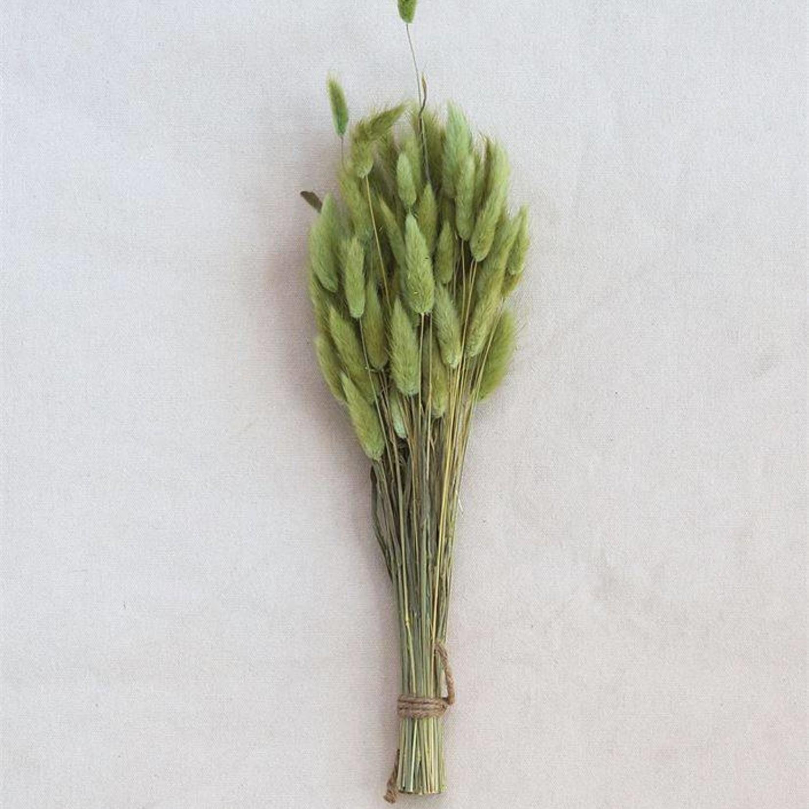 Bunny Tail Grass Bunch Green