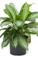 Everyday Aglaonema Plant