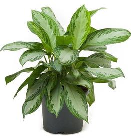 Everyday Aglaonema Plant