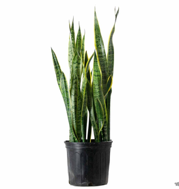 "Everyday 10"" Sansevieria Laurentii"