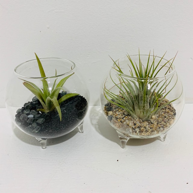 Everyday Air Plant Arrangement  in Mini Footed Glass Vessel