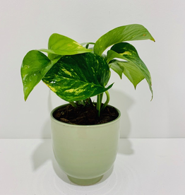 "Everyday 4"" Pothos in Grey Green Ceramic Pot"