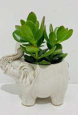 "Everyday 4"" Jade in Ceramic Elephant Planter"
