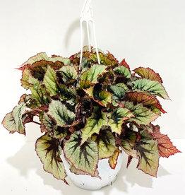 """Everyday 7"""" Rex Begonia Hanging Basket"""