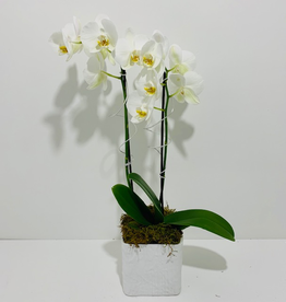 Christmas Orchid Arrangement in White Ceramic Pot