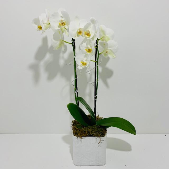 Christmas Orchid Arrangement in White Ceramic Pot