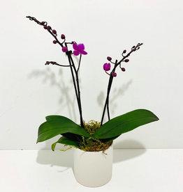 "Everyday 3.5"" Mini Purple Orchid in Round White Ceramic Pot"