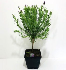 "Everyday 7"" Spanish Lavender Topiary"