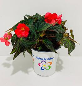 Everyday 1 Gallon Seaside Rosa Begonia