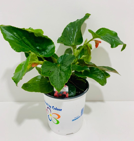 Everyday 1 Gallon Dragon Wing Red Begonia