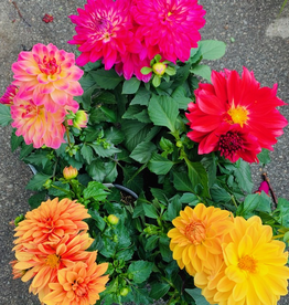 Everyday 1 Gallon Dahlia - Assorted Colours