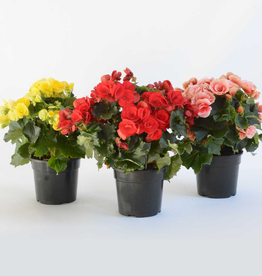 Everyday 1 Gallon Solenia Begonia - Assorted Colours