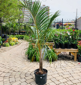 "Everyday 14"" Spindle Palm"