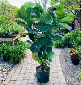 "Everyday 14"" Fiddle Leaf Fig Ficus Bush"