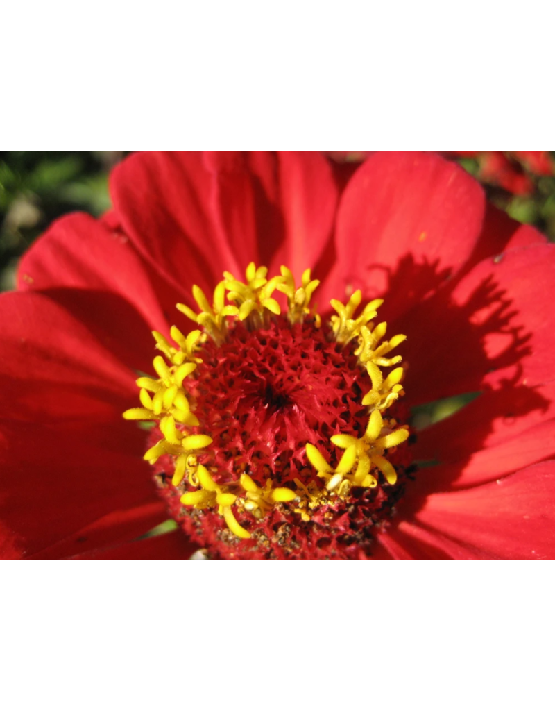 Hudson Valley Seed Company Gift Zinnia Seeds