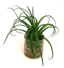 """Air Plant in 3"""" Cylinder-Faux Water (Green)"""